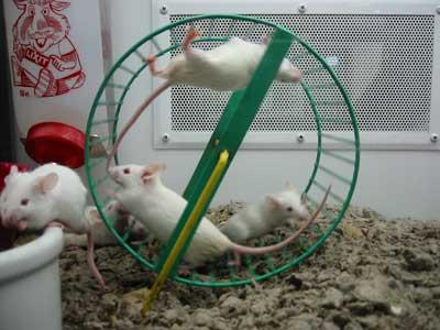 Pet Co. Mice